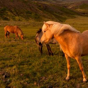 Image of horses in Eastern Iceland